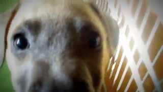 My Crazy Dachshund-pit Bull Puppy, Abby Marie