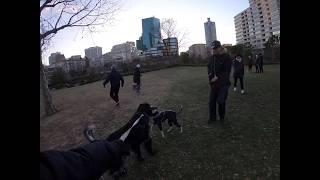 大型犬・ラージミュンスターレンダーのボン爺ちゃんはお散歩中に若い友...