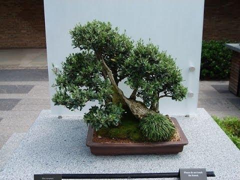 olive-is-easy-care-bonsai-tree-i