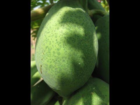 Natural Farming | Papaya ringspot virus symptoms | MALLIKARJUN-5
