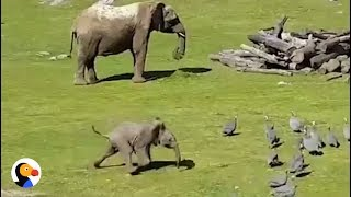 Baby Elephant Chasing Birds FAIL | The Dodo