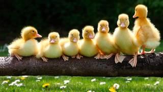 На шагающих утят быть похожими хотят (песни для детей)