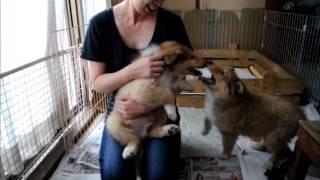2017年5月生まれのコリー子犬です。もうすぐ生後2か月の様子になります...