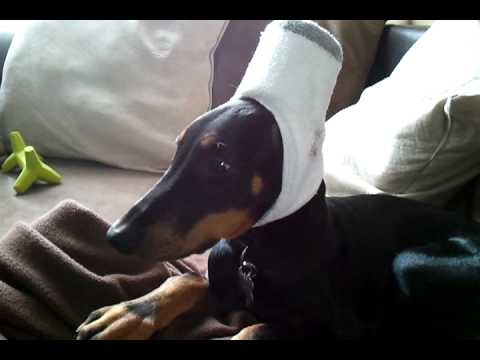 Doberman after ear cropping surgery - YouTube