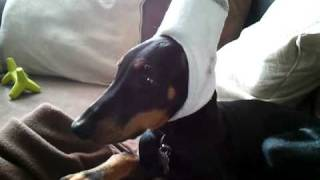 Doberman After Ear Cropping Surgery