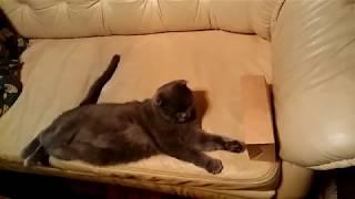 Кот Нэко перекатывается на пол с дивана - ленивец 80 уровня )))