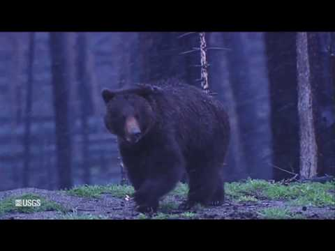 Return of the Yellowstone Grizzly Bear