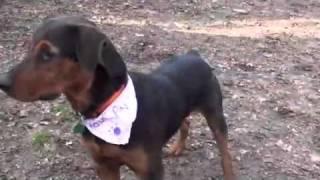 Pet Of The Week: Bear [rottweiler/airedale Terrier Mix]