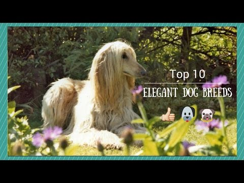 Top 10 Elegant Dog Breeds
