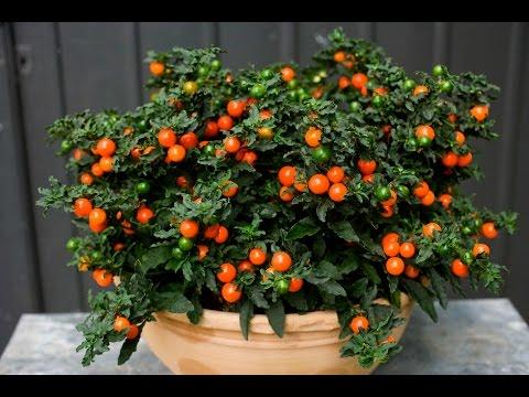 Как называется цветок с оранжевыми шариками