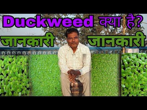 ||Biofloc|| What Is Duckweed || Duckweed क्या है ।। Duckweed के क्या फायदे  है ।।
