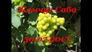 Виноград - Жемчуг Саба 30.07.17.  на дачном участке (характеристика)