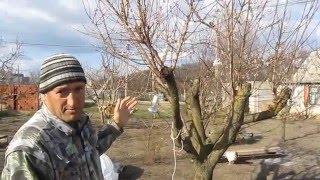 последствия жёсткой обрезки абрикоса(последствия жёсткой обрезки абрикоса., 2016-04-06T11:26:15.000Z)