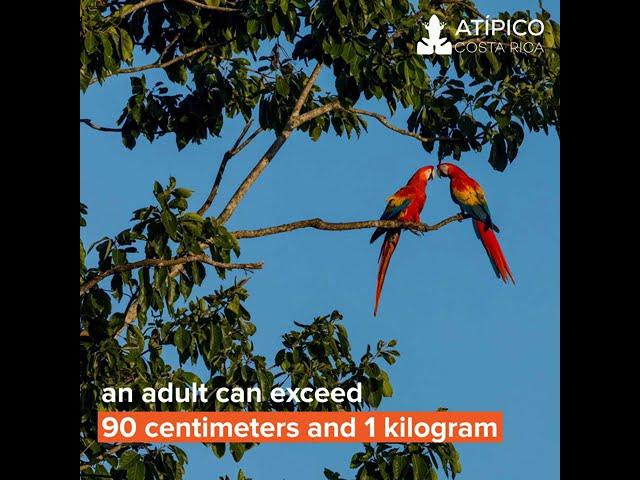 The resplendent Ara Macaw