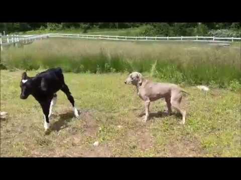 ***SUPER CUTE VIDEO*** – Calf Salsa Dances With Dog