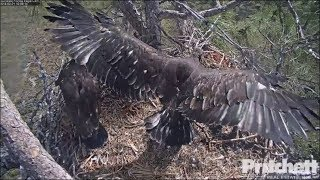 SWFL Eagles ~ 8 Weeks Old ~ Both E's Showcase Their Wings 2.21.18