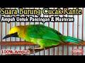 Suara Burung Cucak Ranting Gacor  Mp3 - Mp4 Download