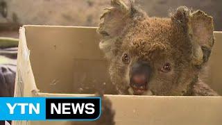 도망치기엔 너무 느려...호주 산불로 코알라 멸종 위기 / YTN