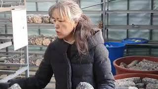 솔송버섯 입상작업, 버섯배지 나르기