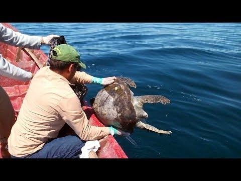 Hundreds of turtles show up dead off the coast of El Salvador