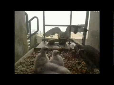 Maine Peregrine Falcon Brings Lunch for 3 Eyasses & some wing streches 05/09/2012