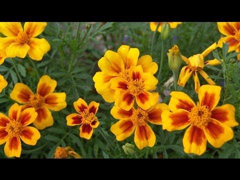 Хитрости посева мелких (пыльных, пылеобразных) семян цветов на рассаду