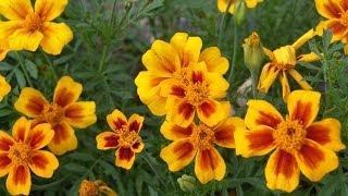 видео семена цветов
