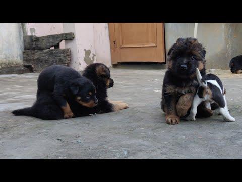 Rottweiler, German Shepherd & Beagle Puppy Available / 9053119990,  9053119992 Doggyz World