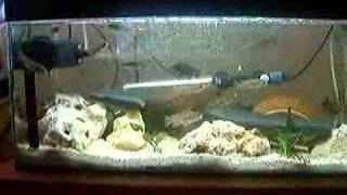 My Baby Cichlids Plus One Unknown Malawi