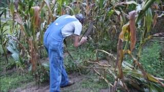 Wind Causes Early Harvest of Danny Corn