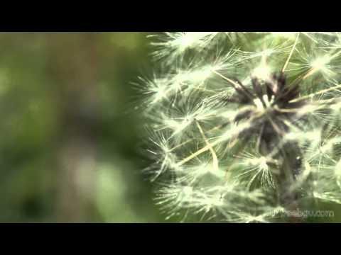 花 たんぽぽ  Flower Dandelion カントリーフォーク/インスピレーション(CountryFolk/inspiration)