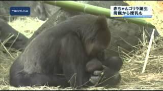 上野動物園で絶滅の危機にさらされているニシローランドゴリラの赤ちゃ...
