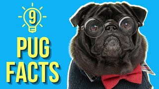 9 MindBlowing Pug Facts ( You Probably Didn't Know )