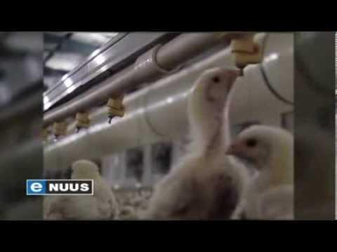 Hoekom hoenderpryse styg / Why chicken prices are increasing