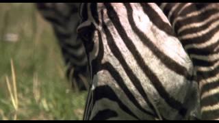 African Cats: Huge Adventure - Clip