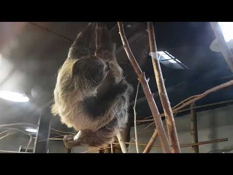 An itching Linne's two-toed sloth