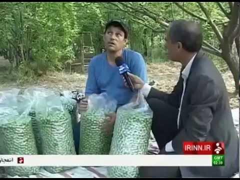 Iran Kashan county, Picking Green Plums برداشت گوجه سبز شهرستان كاشان ايران