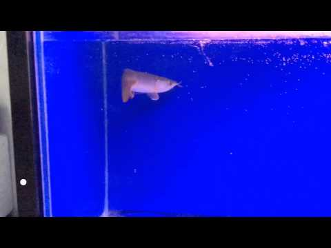 ขายปลามังกรแดงอินโด Su...
