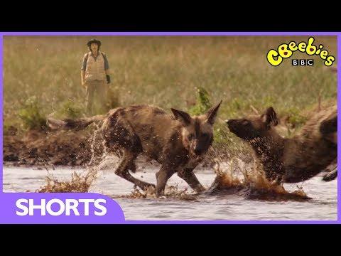 CBeebies | Andy's Safari Adventures | Hunting Dog Puppy