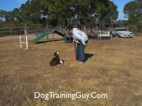 Australian Shepherd Puppy Training Tips Part One