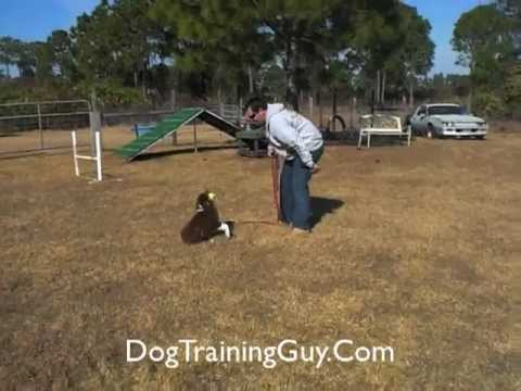 Australian Shepherd Puppy Training Tips Part One