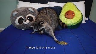 pet-raccoon-reacts-to-catnip
