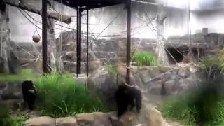 2012年夏、千葉市動物公園に行ったらそこには天才チンパンジーがい...