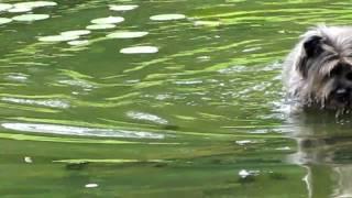 Cairn Terrier In Water!