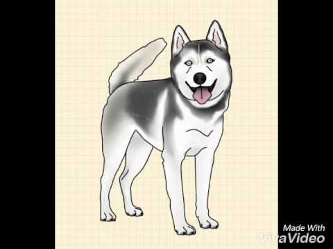 Apprendre a dessiner un siberian husky youtube - Dessin de chiot ...