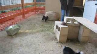 Pygmy Goat Happy Dance II