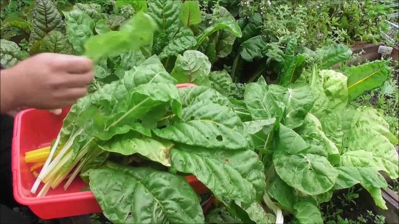 Image result for Leafy Green Vegetables like Spinach and Swiss Chard