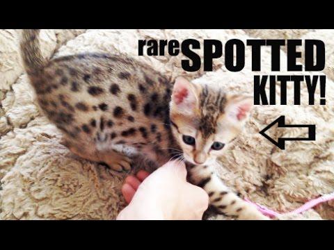 RARE SPOTTED KITTEN