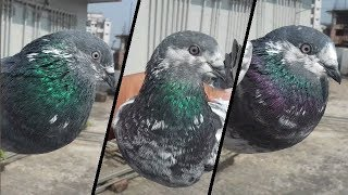 Best pigeon breeds - Napta pigeons (Flying &Tossing Pigeons). bd rahman pigeons loft.
