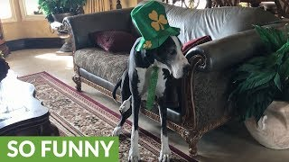 Festive Great Dane models St. Patrick's Day costume